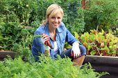 pic of carrot  - Woman in the vegetable garden - JPG