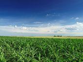 stock photo of nubian  - Green Corn field - JPG