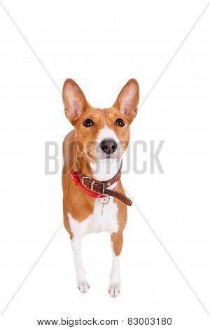 Basenji dog, 2 years old, isolated on white