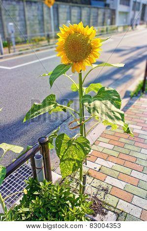 Sunflower On  Sidewalk