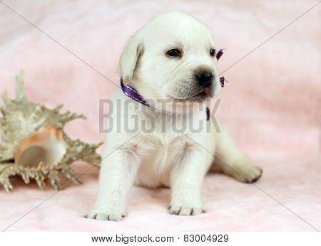 Labrador Puppy On Pink Background