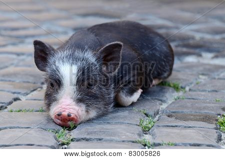 Portrait Of Little Funny Black Vietnam Piglet Lying On The Ground