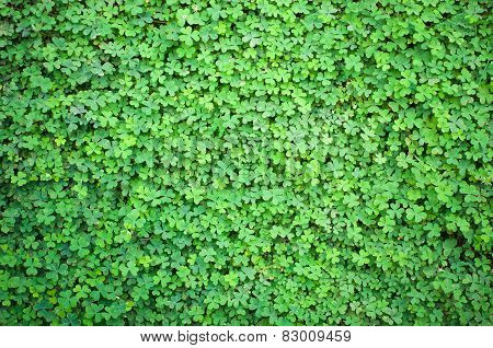 Lush Clover In The Spring