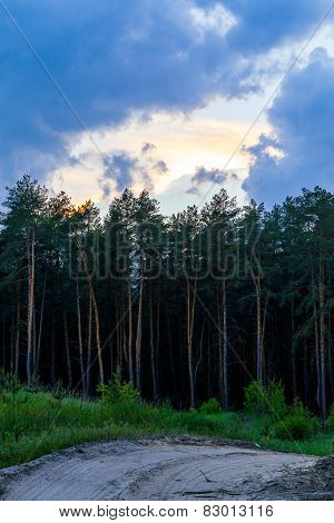 Edge of a pine forest at sunset