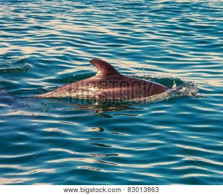 Dolphin in ocean,Argentina