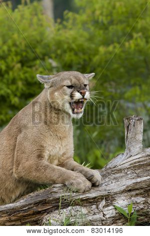 Angry Cougar