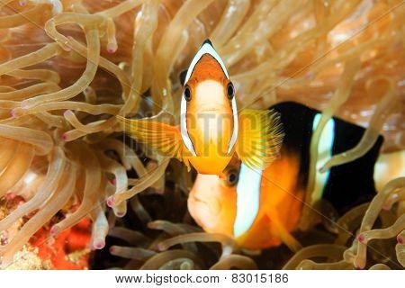 Banded Clownfish