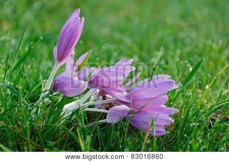 Purple Spring Crocus On A Meadow