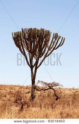 Candelabra Tree (Euphorbia ingens)