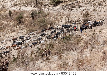 Cow cattle driven by Maasai people