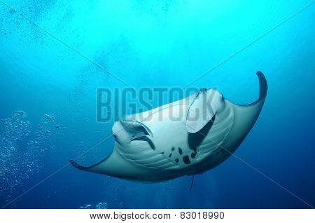 Floating Manta Ray