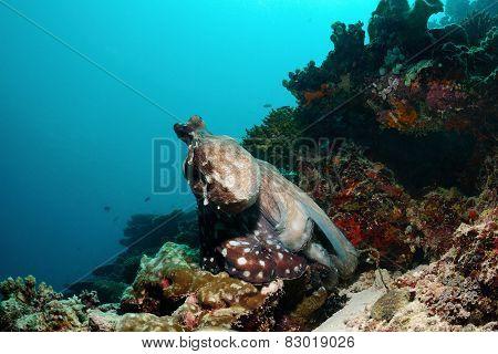 Sea Chameleon