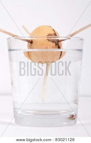 Germinating avocado seed
