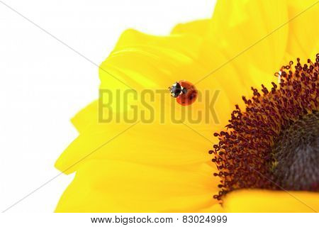 Ladybug on a flower isolated on white