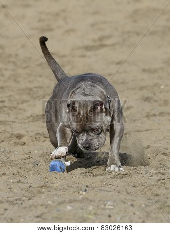 Blue nose pitbull at the beach