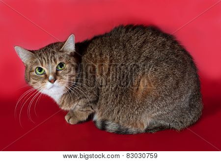 Tricolor Cat Sitting On Red