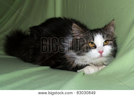 Tricolor Fluffy Kitten Lying On Green