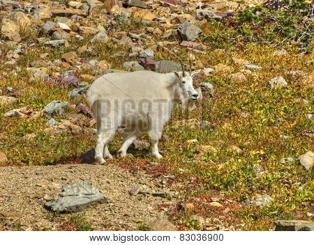 Male Mountain Goat, Glacier National Park