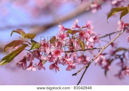 Pink flower on tree with nice blue sky