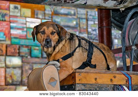 old dog on wooden box