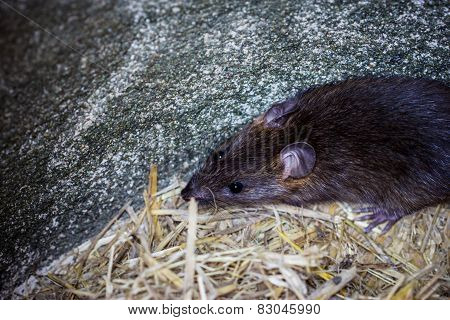 Big Brown Rat