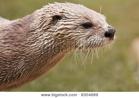 North American River Otter (Lutra Canadensis)