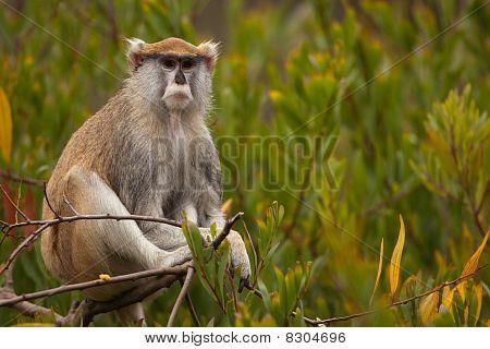 Patas Monkey (Erythrocebus patas)
