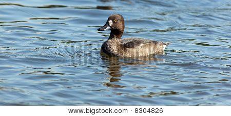 Tufted Duck, Pochard, Aythya Fuligula
