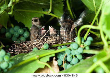 Linnet, Acanthis Cannabina, Carduelis