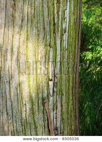 Cedar Tree Bark Closeup