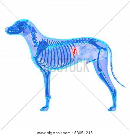 Dog Gallbladder Anatomy - Canis Lupus Familiaris Anatomy - Isolated On White