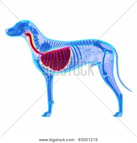 Dog Thorax / Lungs Anatomy - Canis Lupus Familiaris Anatomy - Isolated On White
