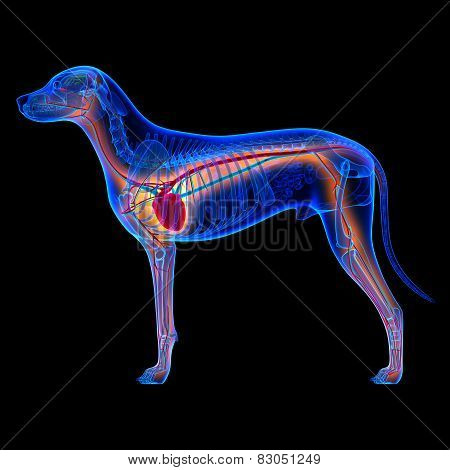 Dog Heart - Anatomy Of Circulatory System Isolated On Black