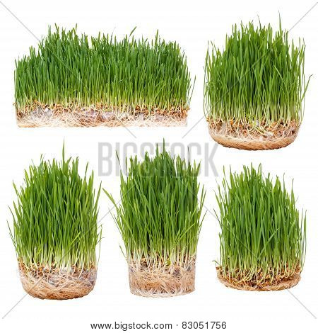 Sprouts Of Green Wheat
