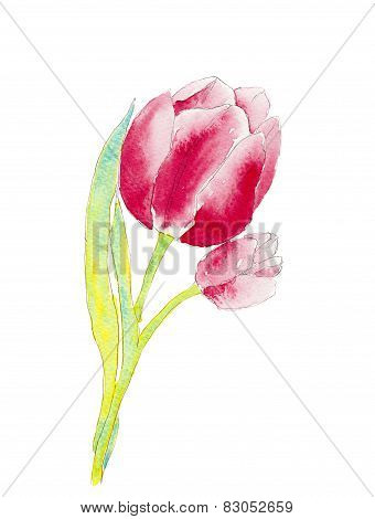 Watercolor of a tulip flower