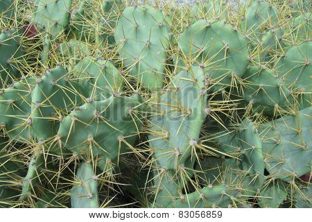 The prickly pear or paddle cactus