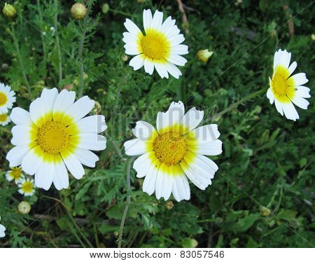 White field flowers with yellow hearts