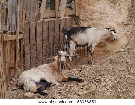 Goats native to Fuerteventura in Spain