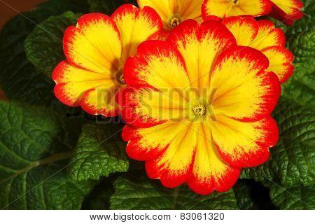 Small, spring flowers primroses