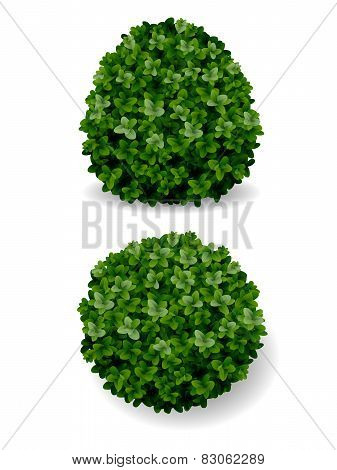 Boxwood bush decorative