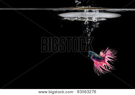 Fighting Fish In Water