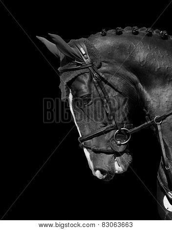 Holstein Horse