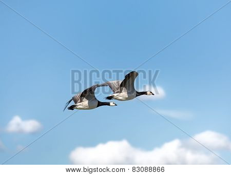 Two geese in the sky
