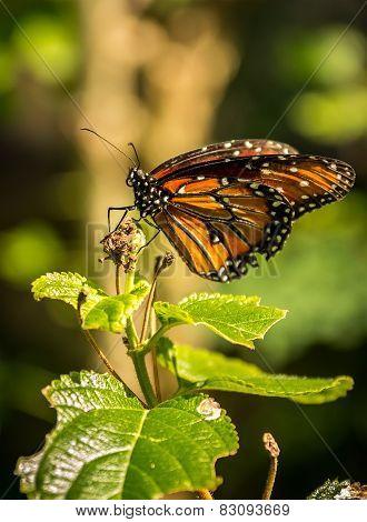 Reina Queen Butterfly