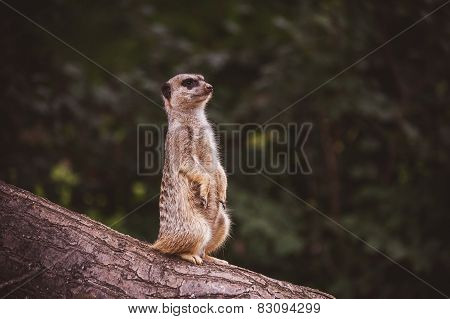 Meerkat Surikate Found In Zoo,