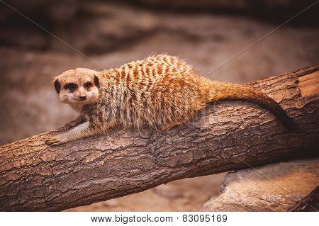 Cute Young Meerkat In Zoo