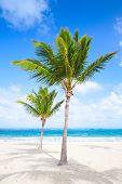 stock photo of atlantic ocean beach  - Two palm trees grow on empty sandy beach - JPG