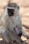 picture of baby-monkey  - Vervet monkey (Chlorocebus pygerythrus) with a sleeping baby in Africa ** Note: Visible grain at 100%, best at smaller sizes - JPG