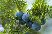 stock photo of juniper-tree  - The close - JPG