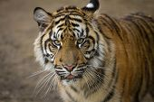 picture of tigers  - Predator, Tiger portrait of a Sumatran Tiger
